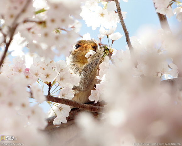 Squirrel and Cherry Blossom by Fumiko Yarita
